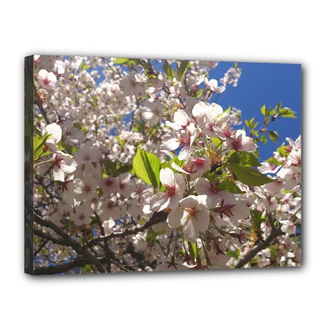 Cherry Blossoms Canvas 16  x 12  (Framed)