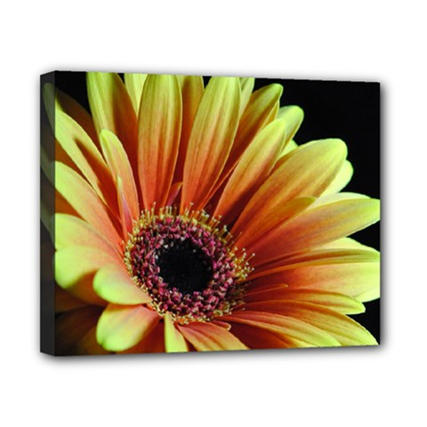 Yellow Orange Gerbera Daisy Canvas 10  x 8  (Framed)