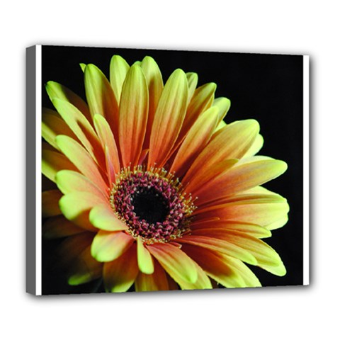 Yellow Orange Gerbera Daisy Deluxe Canvas 24  X 20  (framed)