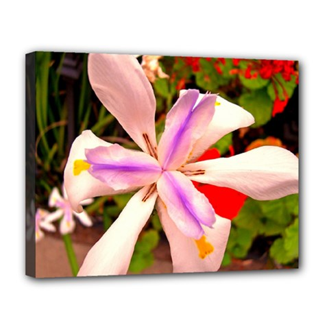 African Iris Canvas 14  x 11  (Framed)