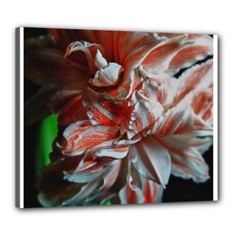 Amaryllis Double Bloom Canvas 24  X 20  (framed)