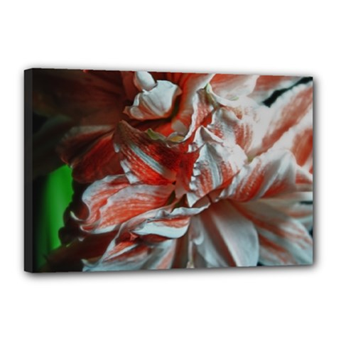 Amaryllis Double Bloom Canvas 18  X 12  (framed)