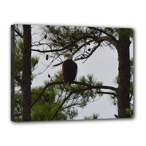 Bald Eagle 3 Canvas 16  X 12