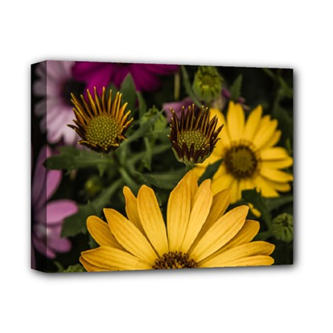 Beautiful Colourful African Daisies  Deluxe Canvas 14  x 11