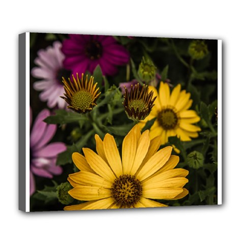 Beautiful Colourful African Daisies  Deluxe Canvas 24  x 20