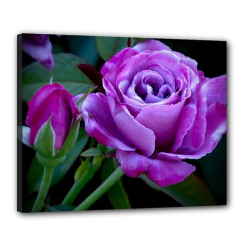 Purple Rose Canvas 20  X 16  (framed)