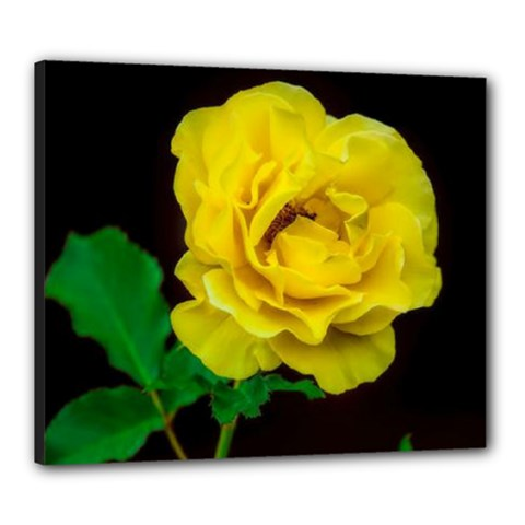 Yellow Rose Canvas 24  X 20  (framed)
