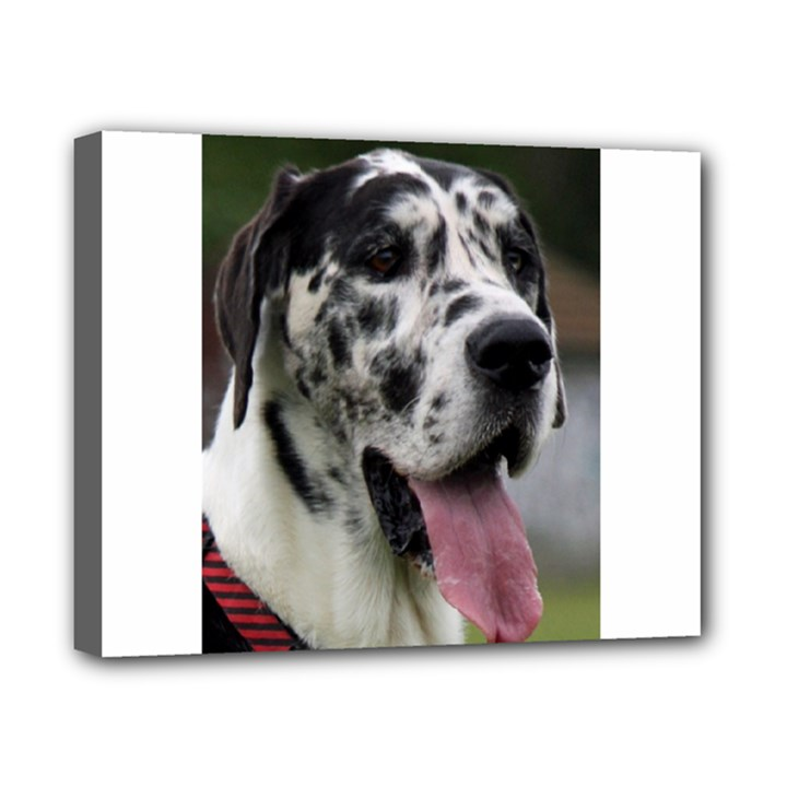 Great Dane harlequin  Canvas 10  x 8
