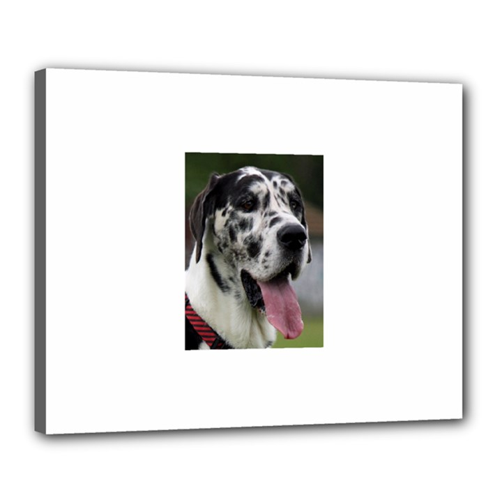 Great Dane harlequin  Canvas 20  x 16