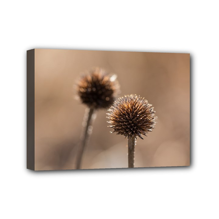 Withered Globe Thistle In Autumn Macro Mini Canvas 7  x 5