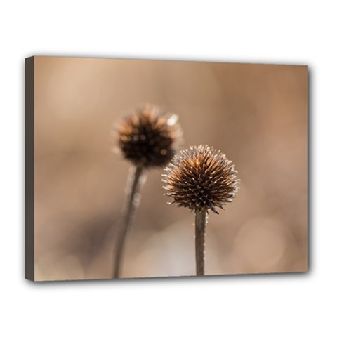 Withered Globe Thistle In Autumn Macro Canvas 16  X 12