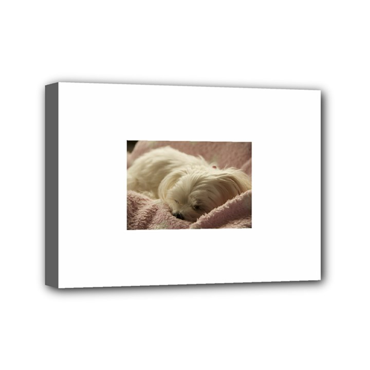 Maltese Sleeping Mini Canvas 7  x 5