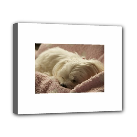 Maltese Sleeping Canvas 10  x 8