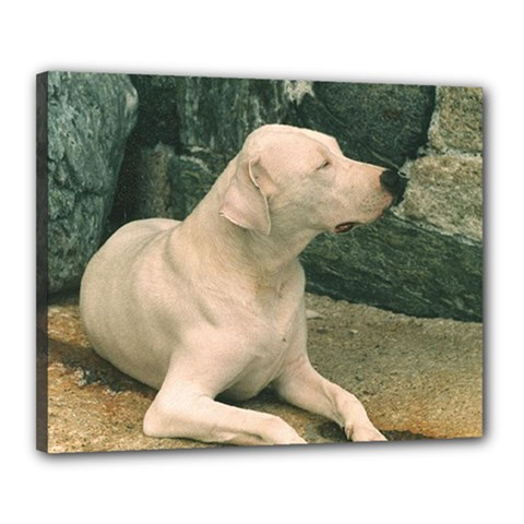 Dogo Argentino Laying  Canvas 20  x 16