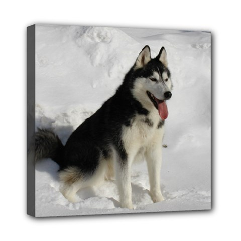 Siberian Husky Sitting in snow Mini Canvas 8  x 8