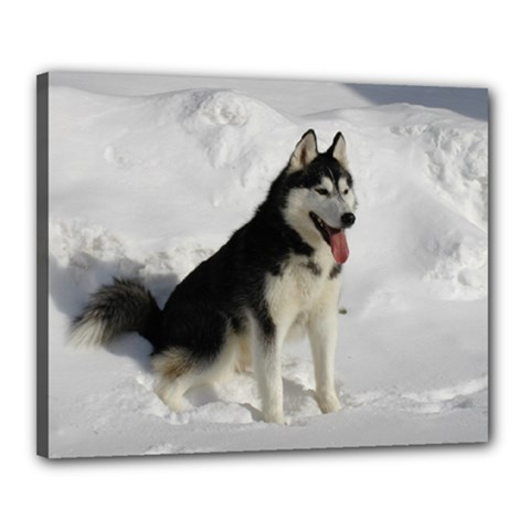 Siberian Husky Sitting in snow Canvas 20  x 16