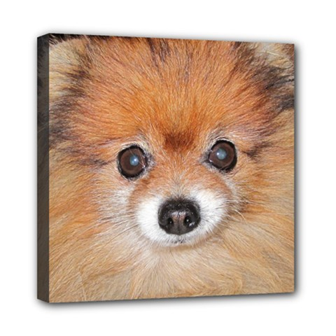 Pomeranian Mini Canvas 8  x 8