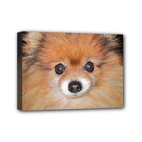 Pomeranian Mini Canvas 7  x 5