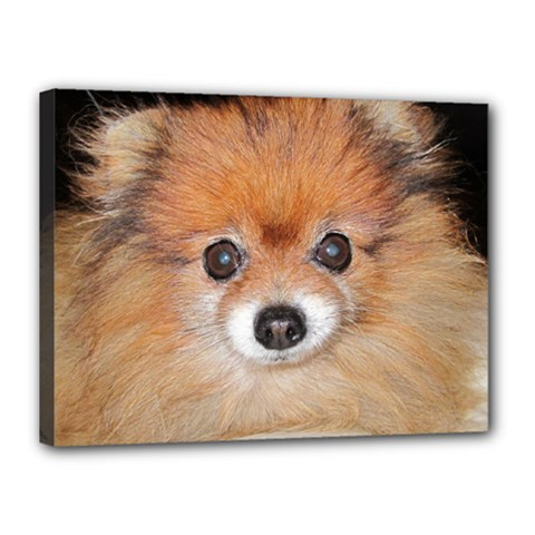 Pomeranian Canvas 16  x 12