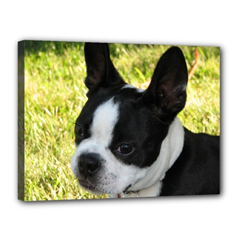 Boston Terrier Puppy Canvas 16  x 12