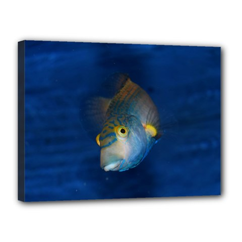 Fish Blue Animal Water Nature Canvas 16  X 12