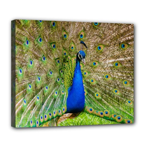 Peacock Animal Photography Beautiful Deluxe Canvas 24  X 20