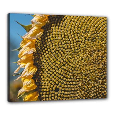 Sunflower Bright Close Up Color Disk Florets Canvas 24  X 20