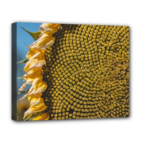 Sunflower Bright Close Up Color Disk Florets Deluxe Canvas 20  X 16
