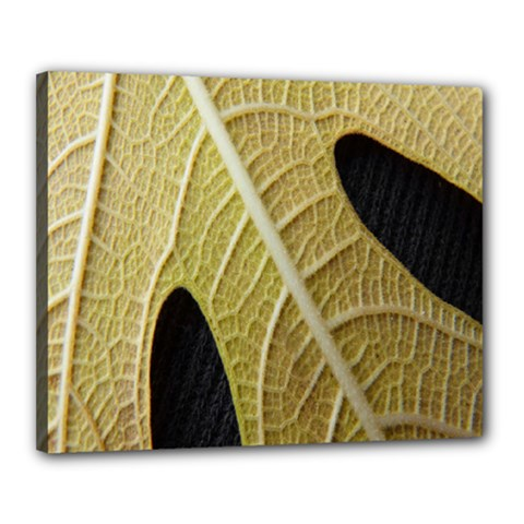 Yellow Leaf Fig Tree Texture Canvas 20  x 16