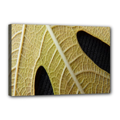 Yellow Leaf Fig Tree Texture Canvas 18  x 12