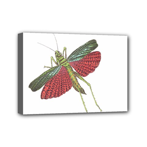 Grasshopper Insect Animal Isolated Mini Canvas 7  x 5