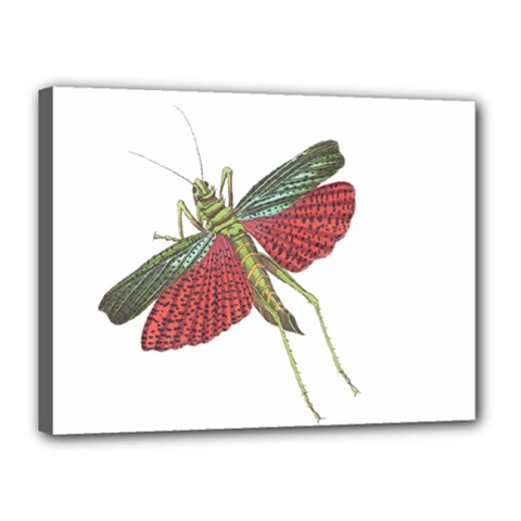 Grasshopper Insect Animal Isolated Canvas 16  x 12
