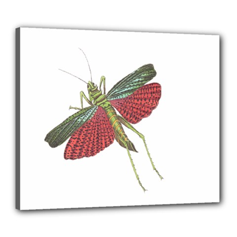 Grasshopper Insect Animal Isolated Canvas 24  x 20