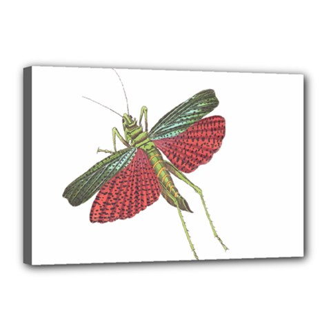 Grasshopper Insect Animal Isolated Canvas 18  x 12