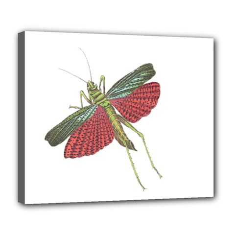 Grasshopper Insect Animal Isolated Deluxe Canvas 24  x 20
