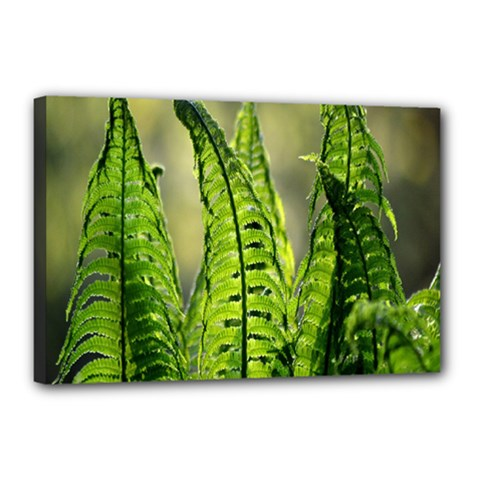 Fern Ferns Green Nature Foliage Canvas 18  x 12