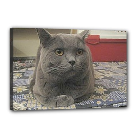 British Shorthair Grey Canvas 18  x 12