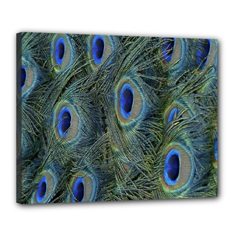 Peacock Feathers Blue Bird Nature Canvas 20  x 16
