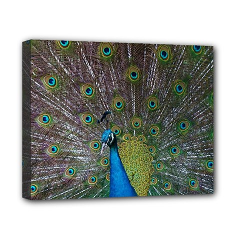Peacock Feather Beat Rad Blue Canvas 10  X 8