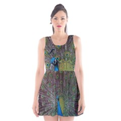 Peacock Feather Beat Rad Blue Scoop Neck Skater Dress