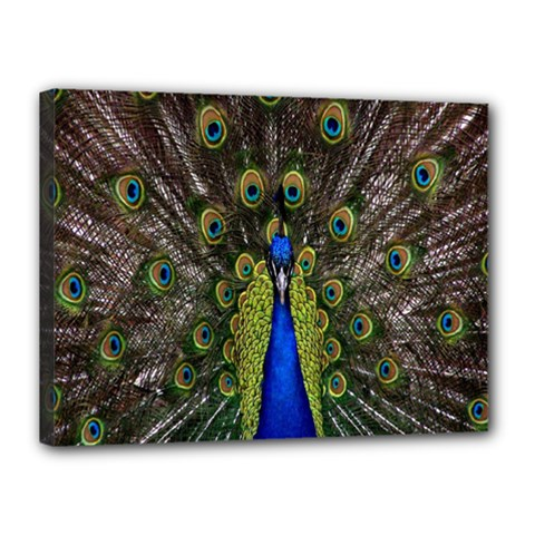 Bird Peacock Display Full Elegant Plumage Canvas 16  X 12