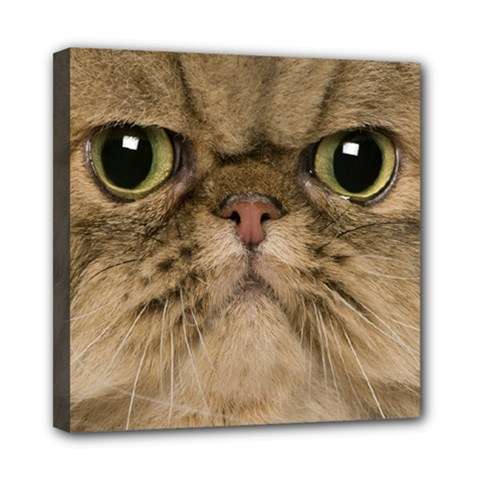 Cute Persian Cat face In Closeup Mini Canvas 8  x 8