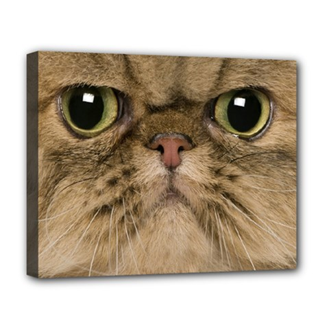 Cute Persian Cat Face In Closeup Deluxe Canvas 20  X 16
