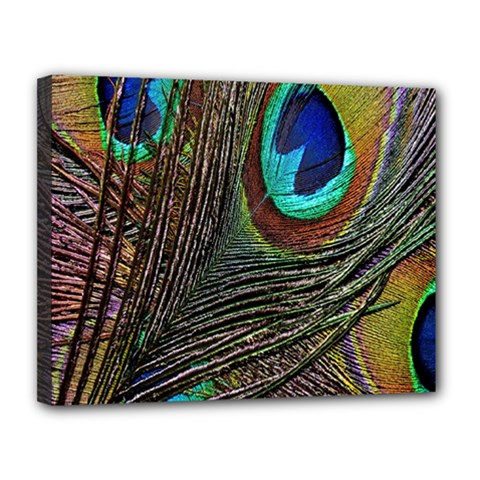 Peacock Feathers Canvas 14  x 11