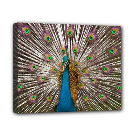 Indian Peacock Plumage Canvas 10  X 8