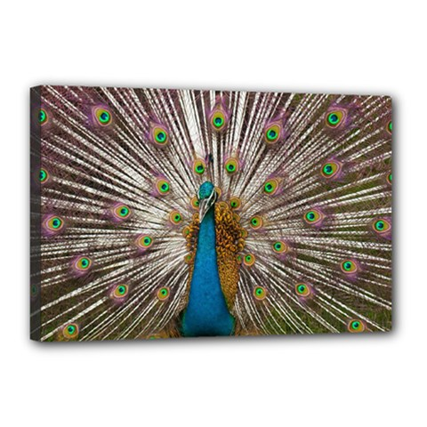 Indian Peacock Plumage Canvas 18  x 12