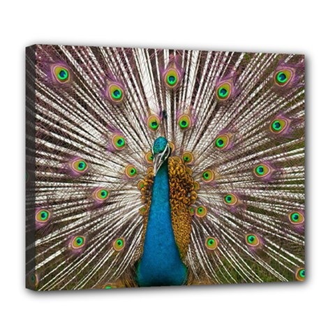 Indian Peacock Plumage Deluxe Canvas 24  x 20