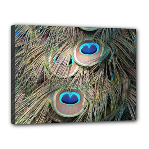 Colorful Peacock Feathers Background Canvas 16  x 12
