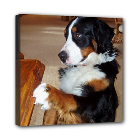 Bernese Mountain Dog Begging Mini Canvas 8  x 8