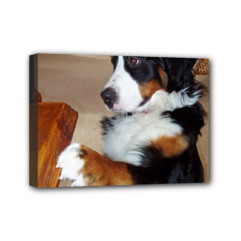 Bernese Mountain Dog Begging Mini Canvas 7  x 5
